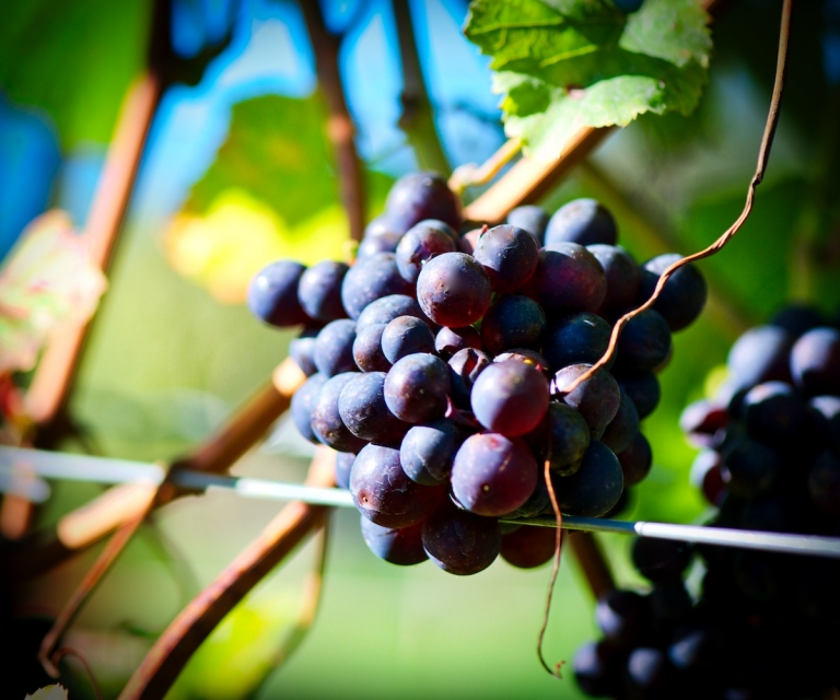 Grapes_ND80327