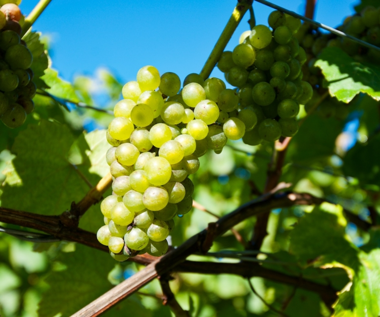 Grapes_ND80478
