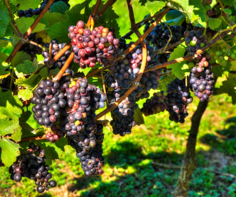 Grapes_ND80894