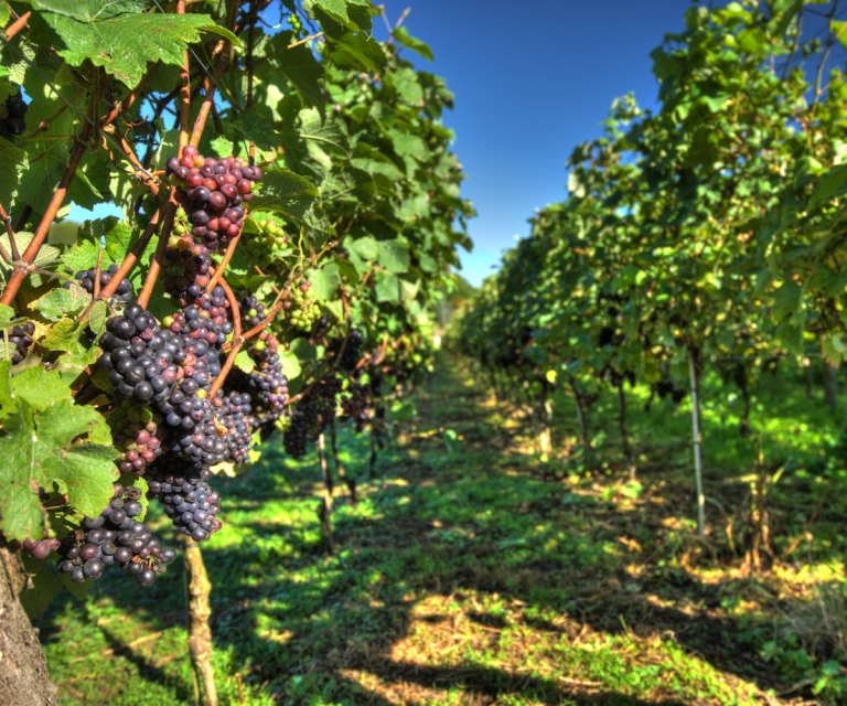 Vineyard_ND80440