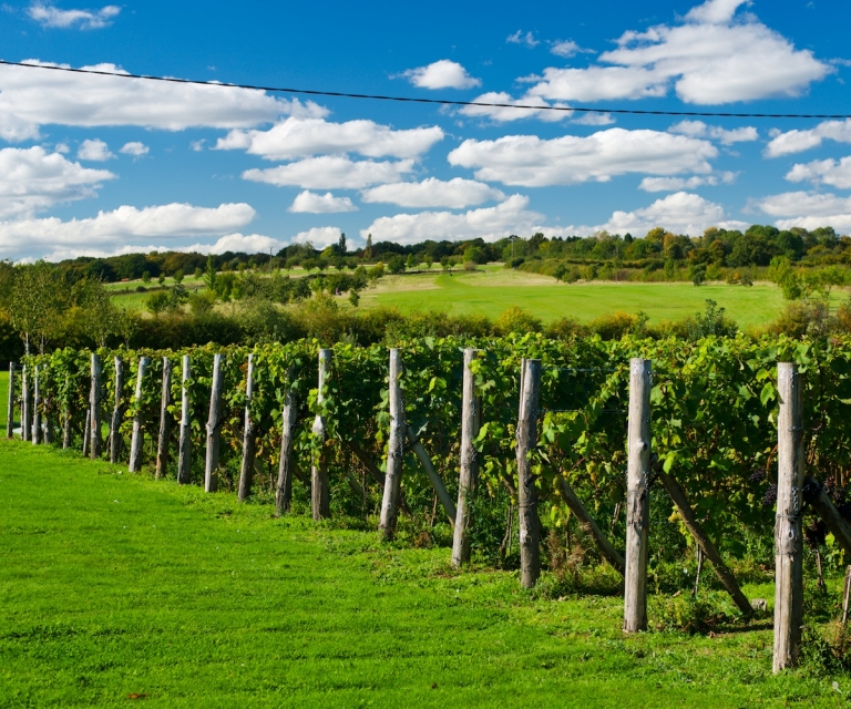 Vineyard_ND80918